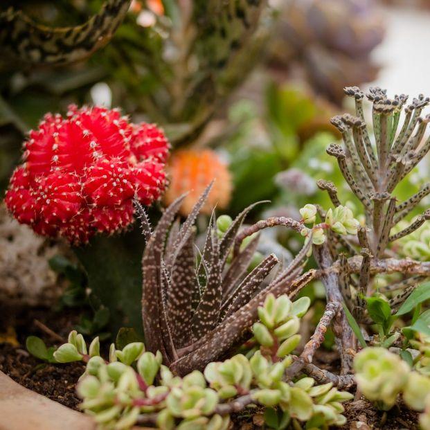 Cactus más vistosos para alegrar tu hogar