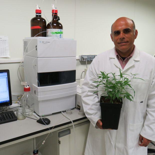 Desarrollan la primera variedad de cannabis legal con potencial medicinal en alzhéimer o párkinson