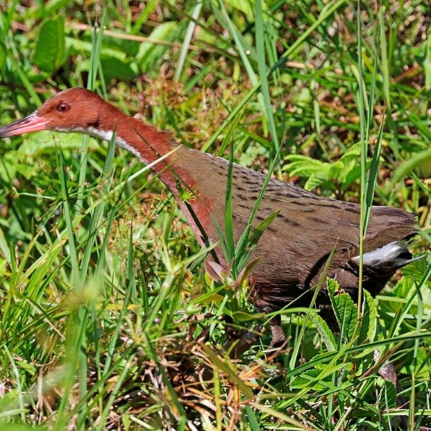 El ave que regresó de la extinción