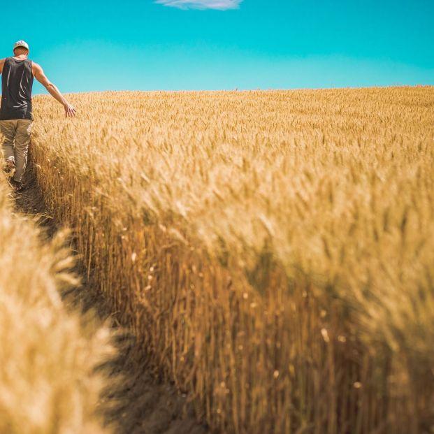 Alimentos transgénicos: cultivo de cereales (Bigstock)