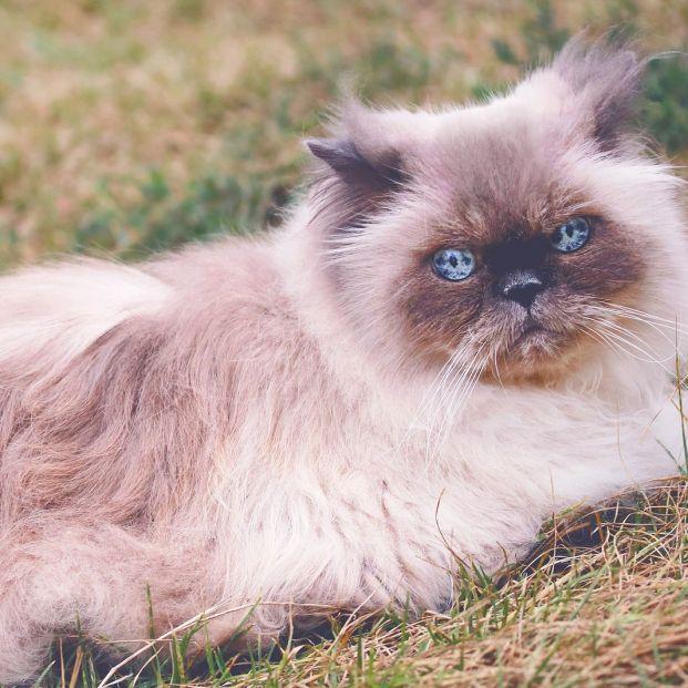Razas de gatos, las más adecuadas para las personas mayores
